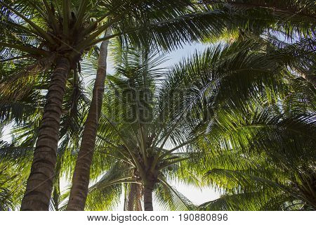 Palm tree leaves on sunny blue sky background. Tropical tree crown on blue sky. Palm crowns on blue sky. Palm leaf in sunlight. Tropical vacation banner template with text place. Tropical wanderlust