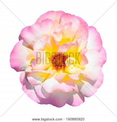 Pink, white and yellow rose isolated on white background. Fully open gentle pink rose flower head isolated on white background. Deep focus. Tender pink rose head close up.
