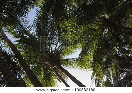 Palm tree leaves on sunny blue sky background. Tropical tree crown on blue sky. Palm crowns on blue sky. Palm leaf view. Tropical vacation banner template with text place. Tropical paradise poster