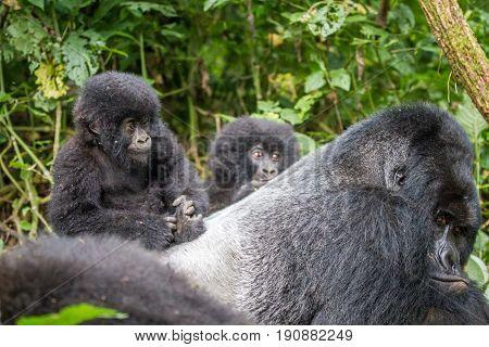 Baby Mountain Gorilla On A Silverback.