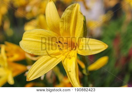 Yellow Blossom On Lilium With Blured Background.