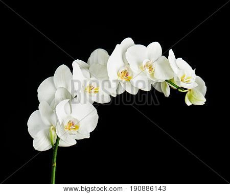 Delicate orchid branch blossoming with large white flowers on black background. Blooming twig of Phalaenopsis orchid flower.