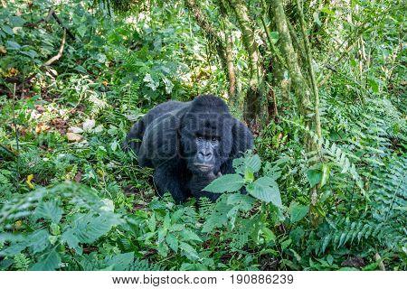 Silverback Mountain Gorilla Laying On The Ground.
