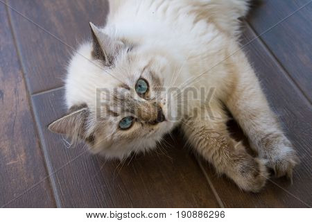 Purebred Siberian Neva Masquerade cat. Kitten 5 months old with saturated blue eyes lying on a floor. Color-point: seal-tabby.