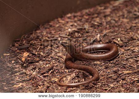 Legless Lizard Scheltopusik Is Scientifically Known As Pseudopus Apodus
