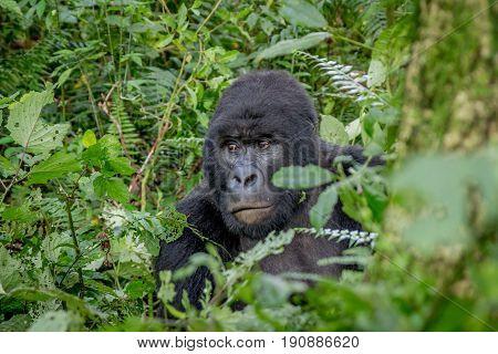 Close Up Of A Silverback Mountain Gorilla.