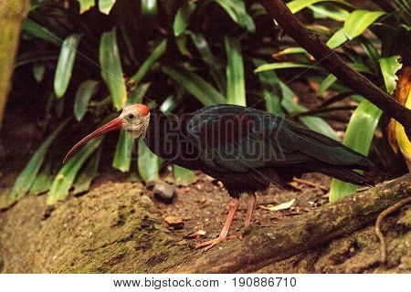 Southern bald ibis called Geronticus calvus is found in Southern Africa