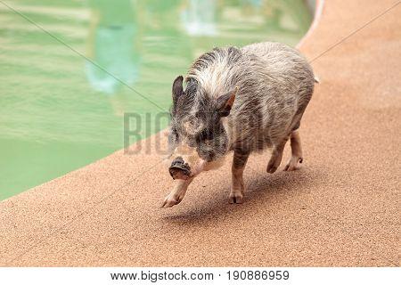 Domestic Pot Bellied Pig Sus Scrofa Domesticus