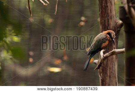 White-fronted bee-eater Merops bullockoides is an insectivore found in central and eastern Africa.