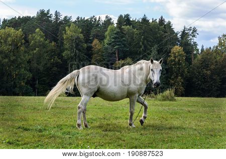 White horse is grazing in a meadow near the village of Mikhailovskoye Pushkinsky Reserve Russia