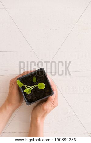 Top view on woman's hands holding plastic container with young baby plant growing on fertile soil. Agriculture. Small Growing Cantaloupe Sprout on white background. Garden grow vegetable. Eco.