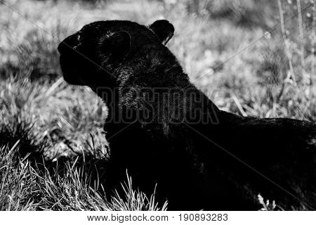 black panther - black and white animals portraits
