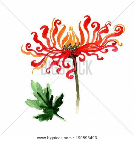 Wildflower chrysanthemum flower in a watercolor style isolated. Full name of the plant: Chinese chrysanthemum. Aquarelle wild flower for background, texture, wrapper pattern, frame or border.