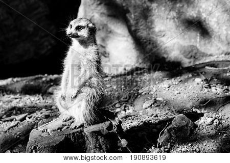 meerkat - black and white animals portraits