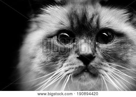 burmese cat - black and white animals portraits