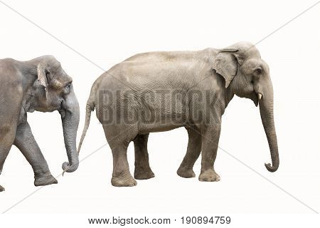Two big elephants isolted on white background