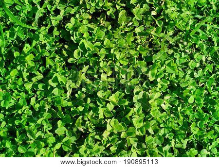 Green clover trifolium  in a fields in country