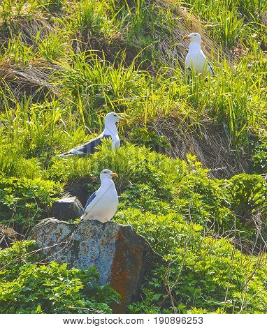 Seagulls sit on nests on a rock covered with grass