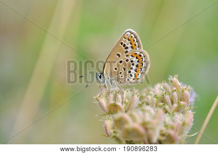 Plebejus argus, Silver Studded Blue butterfly on wild flower with  a green background. Small blue butterfly in nature