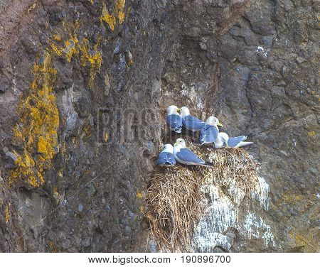 Seagulls are sitting in pairs on the nests on the rock