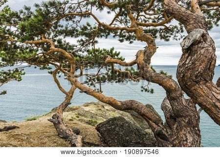 Twisty branch of a young pine trees, growing in the coniferous forest on a mountain slope.