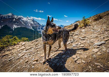 Rocky Mountain Dog