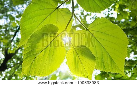 Spring fresh foliage of linden tree glowing in sunlight