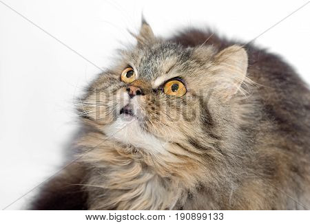 Female crossbreed of siberian and persian cat on a white background looking upward for to catch some prey.
