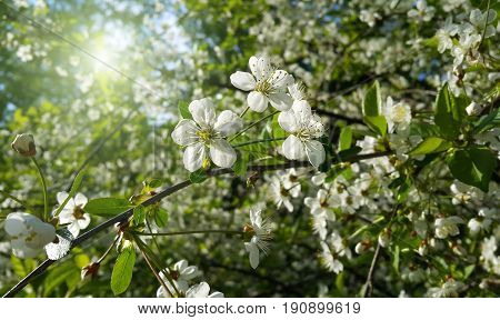 Beautiful branch of spring blooming tree with white flowers