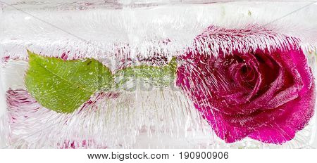 The composition of red roses frozen in ice on a black background
