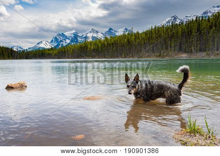 Blue Heeler Dog playing in a mountain river