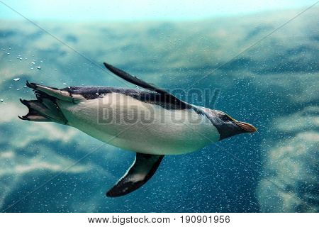 Fiordland penguin from New Zealand swimming underwater at zoo
