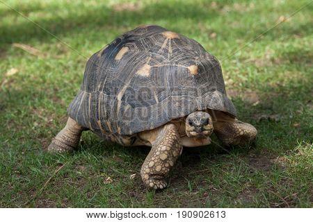 Radiated tortoise (Astrochelys radiata). Wildlife animal.