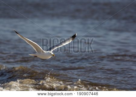 Seagull flying over the sea. Coastal wildlife image with copy space. Solitary gull in flight along the shoreline.
