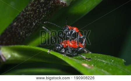 Two scarlet Lily beetle mating, red beetles on the leaves