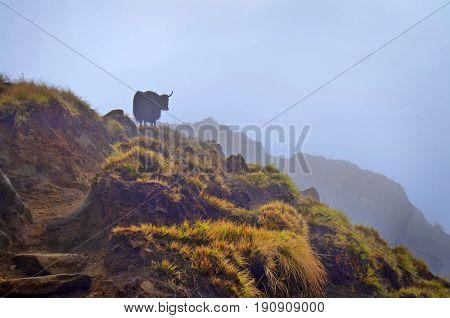 Alone Yak on foggy hill. Himalayan mountains. Nepal, Annapurna region