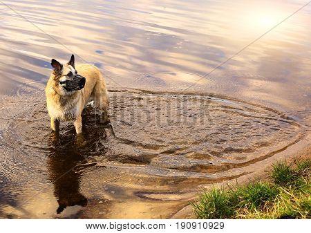 shepherd old dog wear muzzle walk in lake water spring photo