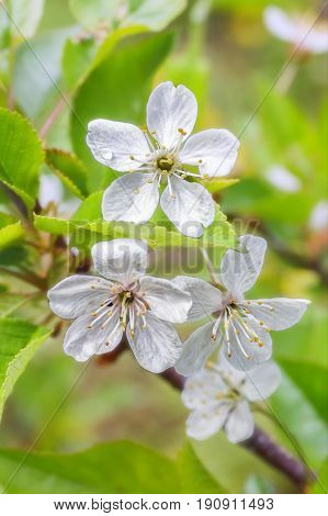Cherry blossom with rain drops on the petals, pistils and stamens close up on a background of leaves