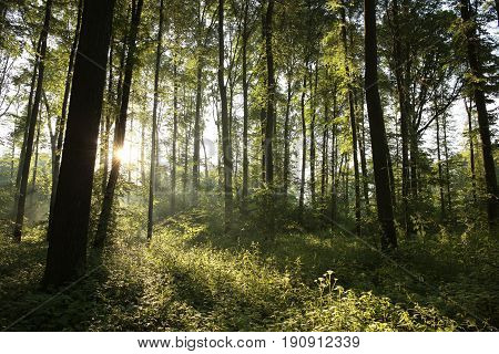 Spring deciduous forest in the morning .