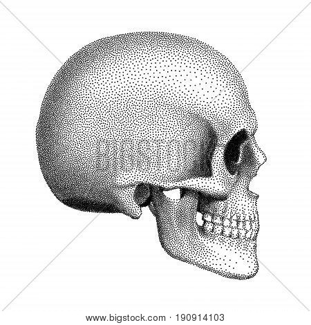 Stippled human skull with a lower jaw. Profile view. Vector textured illustration on white background..