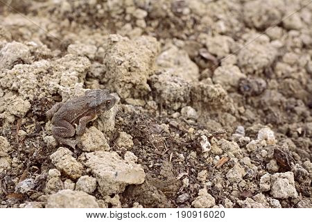 European toad with dry skin sits camouflaged among lumps of earth and compost in a garden