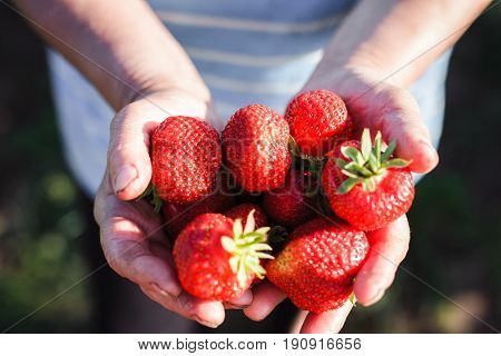 A Large Ripe Red Strawberry In Hands. Strawberry Ripens In The Garden. Red Strawberries Grow And Mat