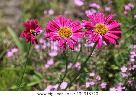 Hybrid Painted Daisy 'Robinson's Red' flower or Pyrethrum, Chrysanthemum Its Latin name is Tanacetum Coccineum.