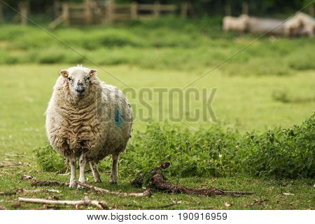 Adult Sheep In A Field Of Grass