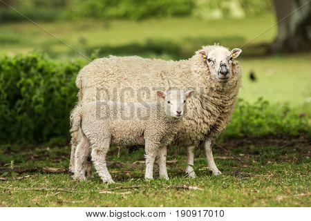 Mother Ewe Sheep With Lamb