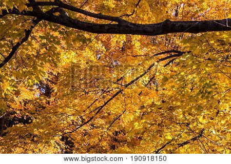 Autumn Maple Leaf Background. Vibrant yellow colors on the lush foliage of a large maple tree in Michigan.