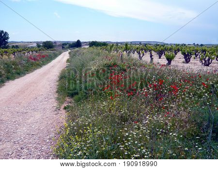 Path In Countryside With Vineyard, Poppy And Daisy Flowers. Peaceful Way Surrounded Of Plants In Spr