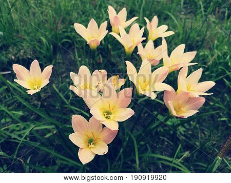 Zephyranthes Citrina, in the garden. Picture in vitage tone.