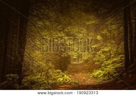Pine dark autumn forest in fog. Fall woods. Old Tree.