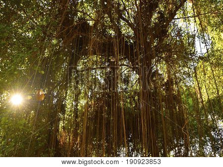 Tropical forest with hanging vines lianas in the sunshine